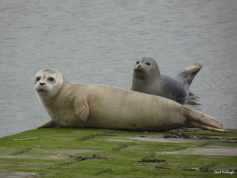 Nieuwpoort zeehondjes spotten in de havengeul